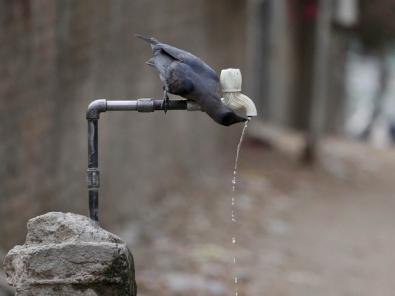 Corvo bebe água de uma torneira durante dia quente em Ahmadabad, na �ndia, em foto de arquivo (Foto: Ajit Solanki/AP)